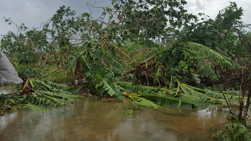 HURRICANE MATTHEW- DEVASTATION:BANANA TREES DOWN